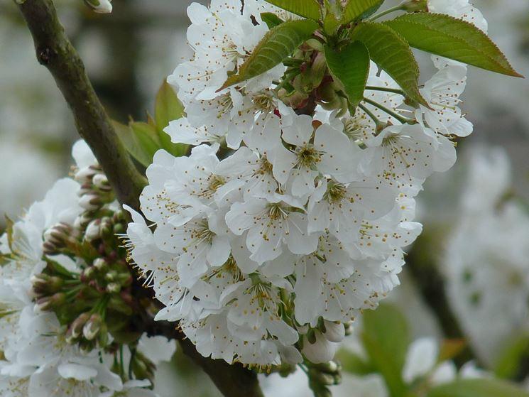 ramo di ciliegio fiorito