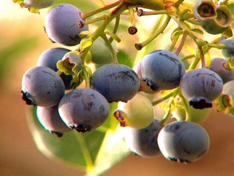 Coltivazione mirtilli Piante da frutta Coltivare mirtilli ~ Verde Fiori Quarto