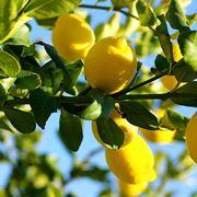 Pianta di limoni concimata