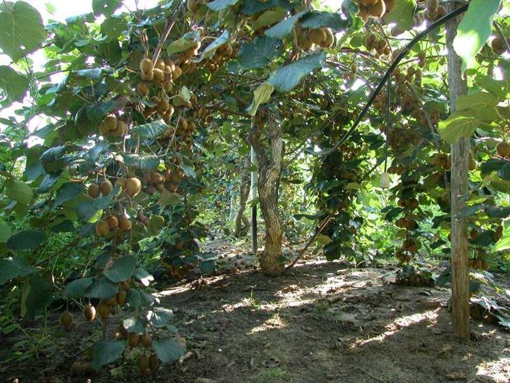 Piante kiwi