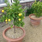 Coltivazione in vaso degli agrumi