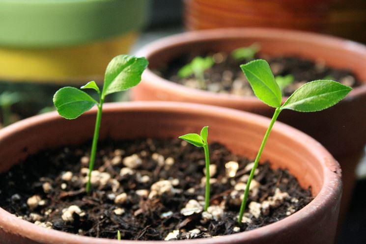 coltivare agrumi