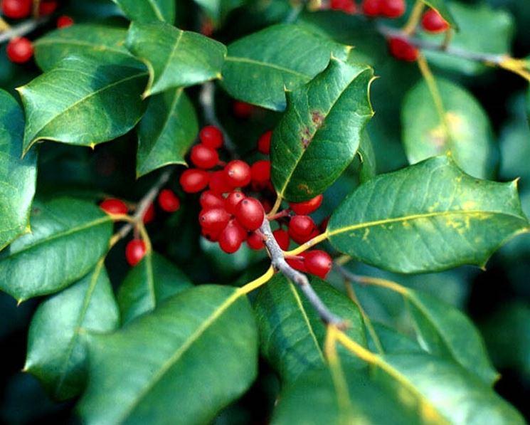 agrifoglio foglie e bacche
