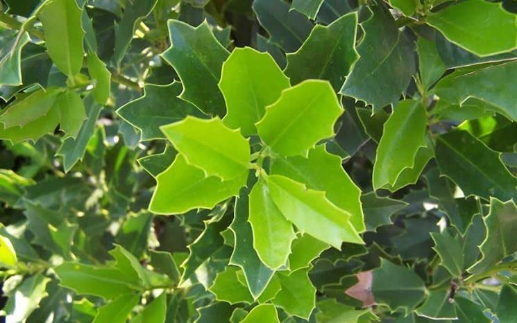agrifoglio foglie