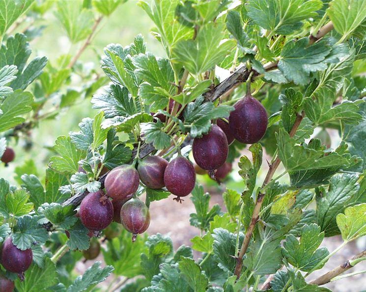 Alberi da frutto piante da giardino frutteto for Alberi da frutto in vaso