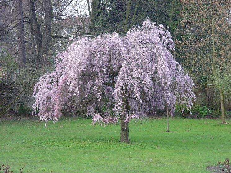 Albero di susino in fiore