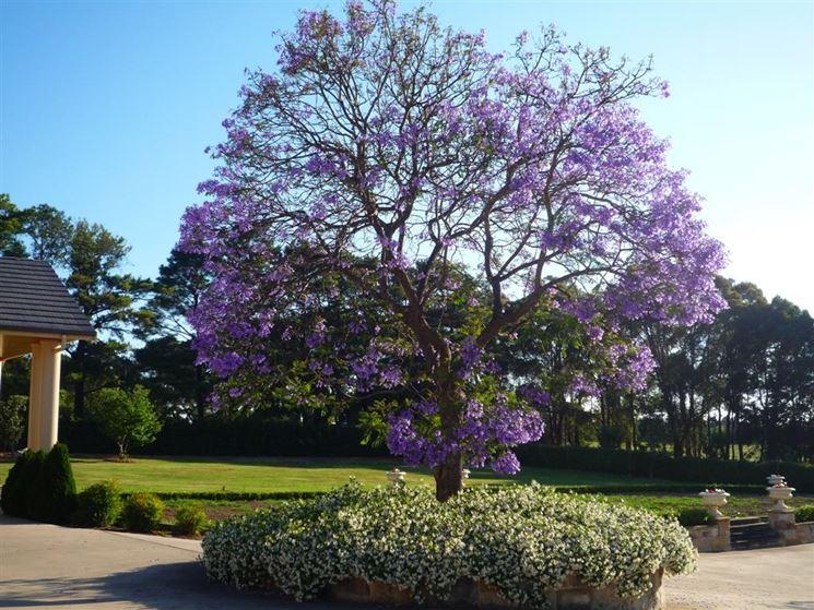 Jacaranta fiorita