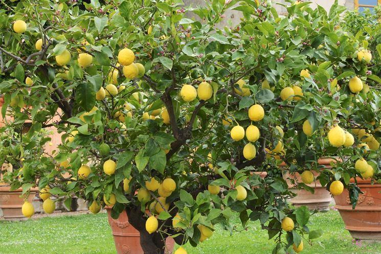 Giardino con alberi di limoni