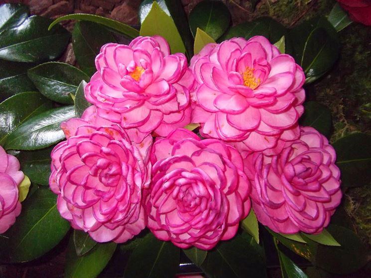 Fiori rosa di Camelie