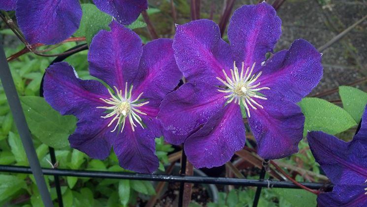 clematide rampicante piante da giardino