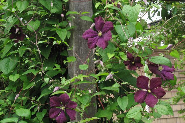 Clematide rampicante con fiori viola