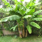 Il banano in un angolo del giardino