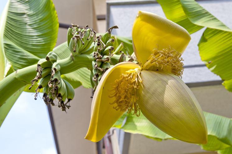 Il banano in ambienti interni