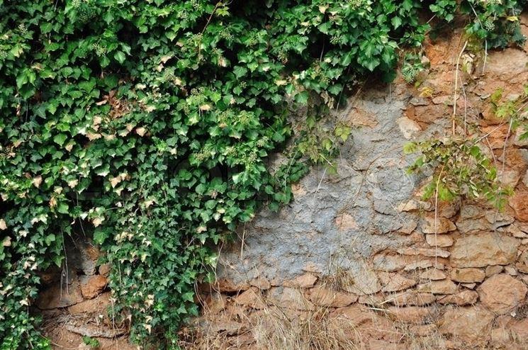 Muro con edera rampicante