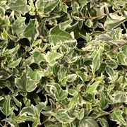 Edera a foglie variegate