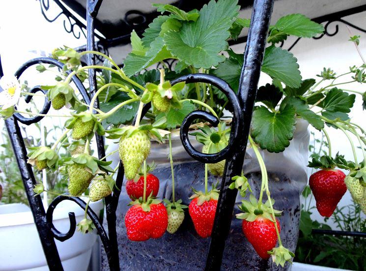 Fragole rampicanti piante da giardino pianta fragole for Piante da giardino rampicanti