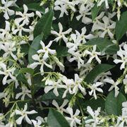 Fiori e foglie di Gelsomino rampicante