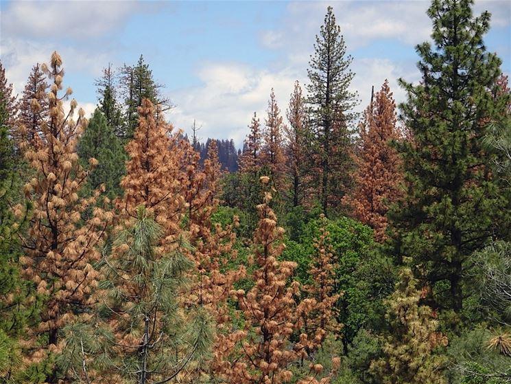 Disseccamento conifere