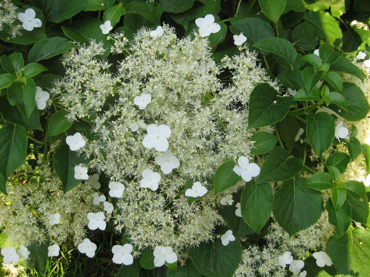 fiore ortensia rampicante