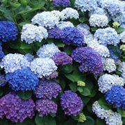 Ortensie blu in fiore