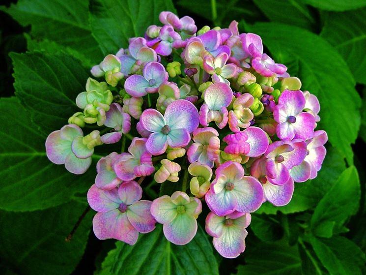 L'ortensia si coltiva in molte varietà di colore