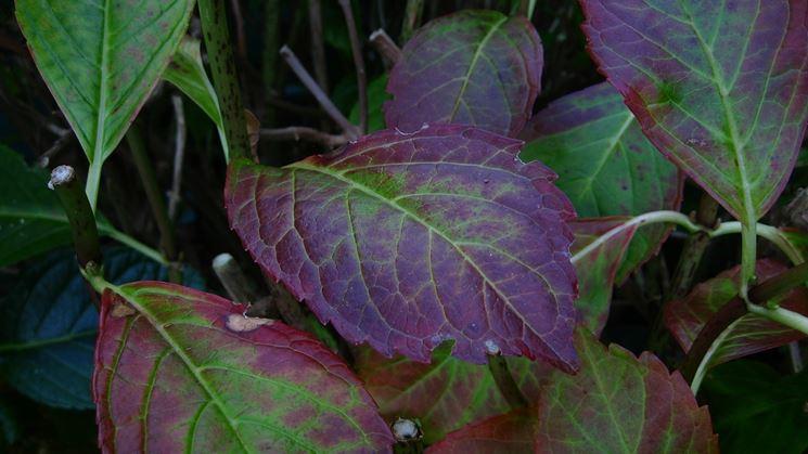 Ortensia con le foglie malate