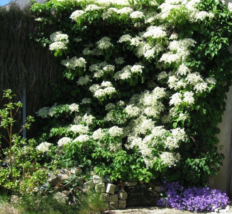 piante ortensia rampicante