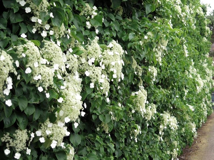 Ortensie rampicanti piante da giardino coltivare for Piante da giardino rampicanti