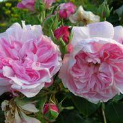 Fiori rosa di Peonie