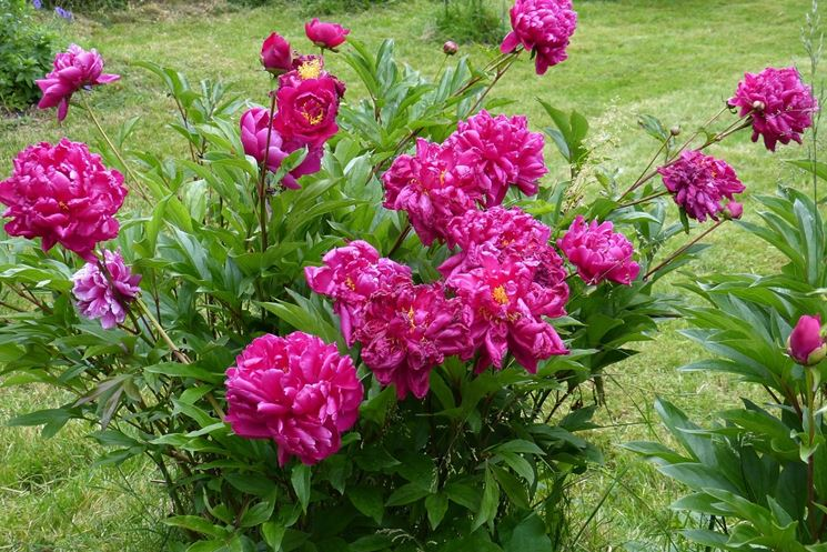Cespuglio in fiore di Peonie