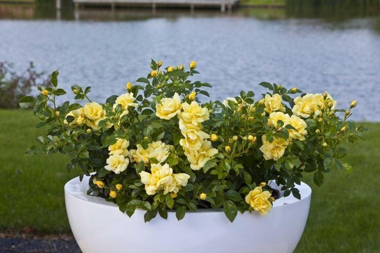 Piantare le rose piante da giardino coltivare rose for Rose da giardino