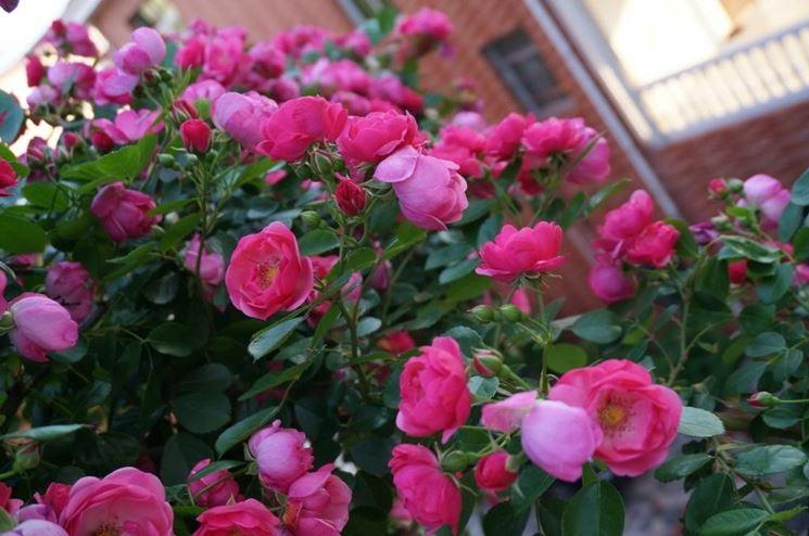 Rose balcone