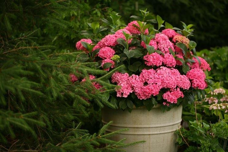 Ortensia fiori