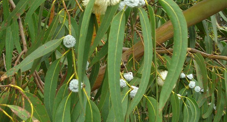 Pianta di eucalipto