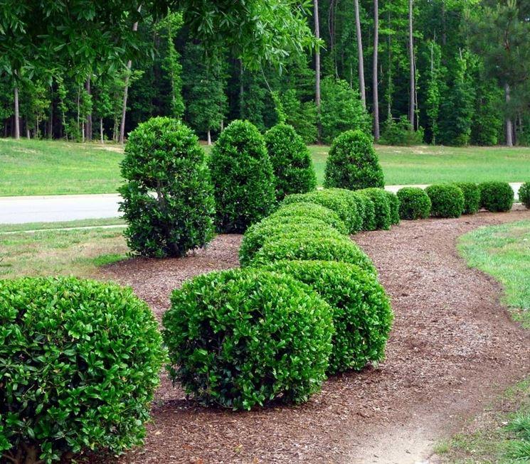 Trasferimento pianta arbustiva