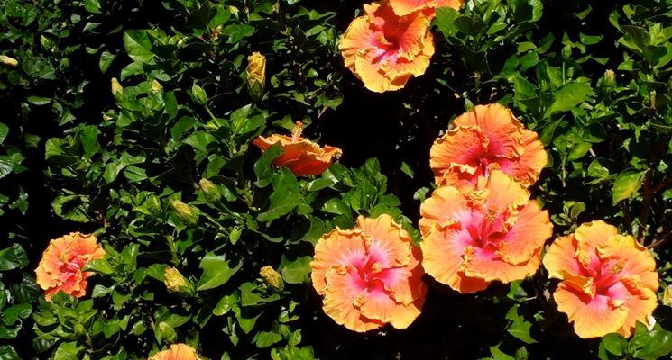 Piante da giardino piante da giardino - Piante da giardino profumate ...