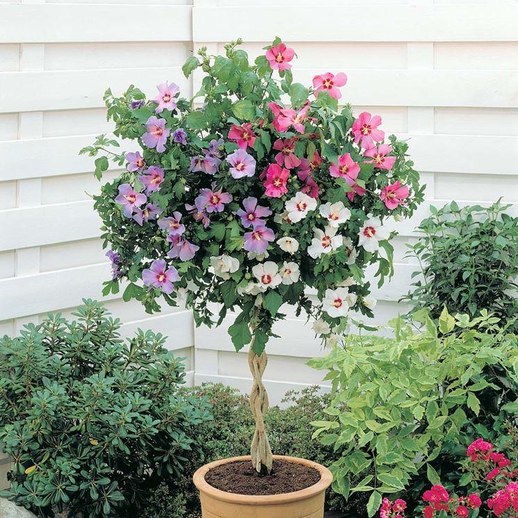 Piante da vaso per esterno piante da giardino piante - Piante sempreverdi per terrazzi ...