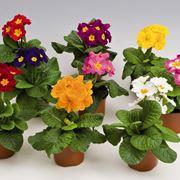 Piante da vaso per esterno piante da giardino piante for Piante per esterno invernali