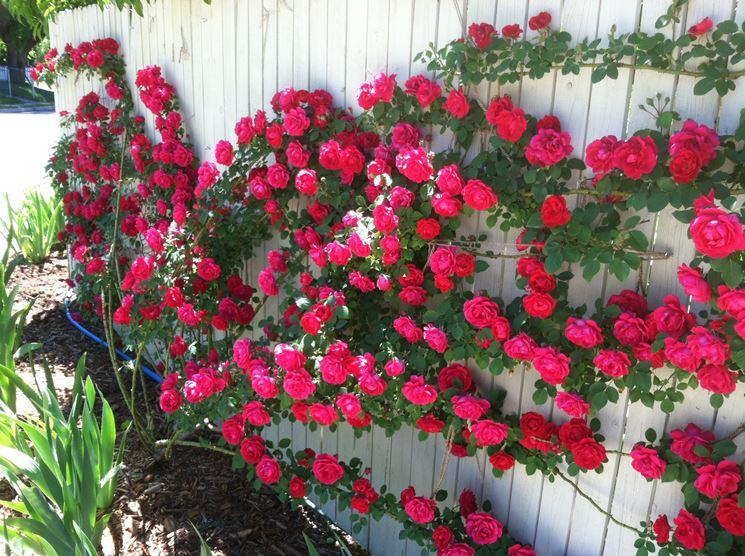 Rose rampicanti su uno steccato