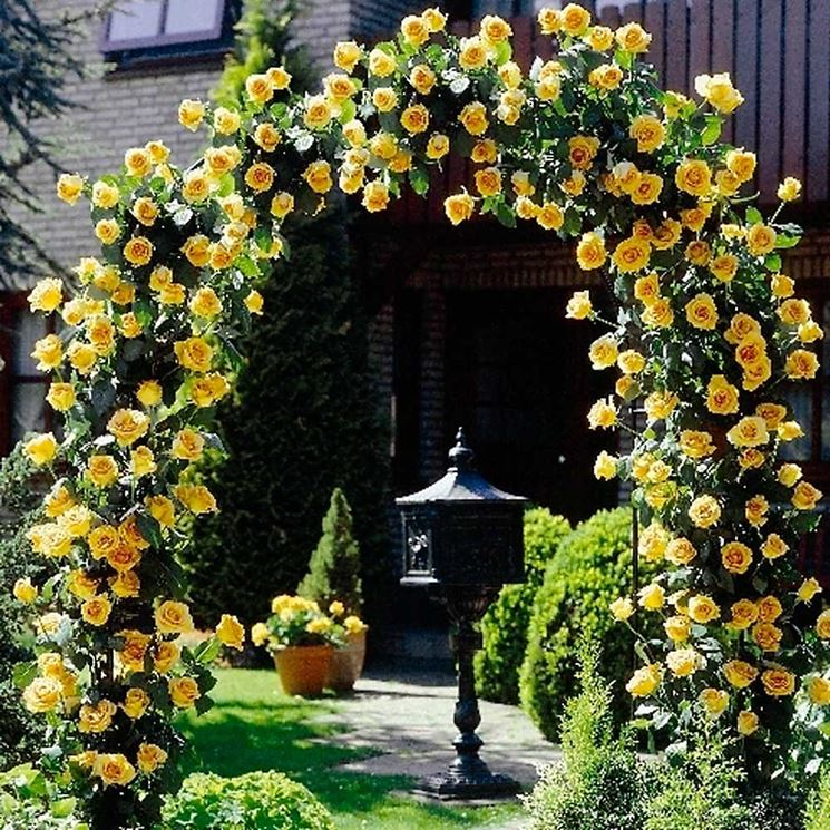 Rose rampicanti piante da giardino variet rose for Fiori rampicanti da giardino
