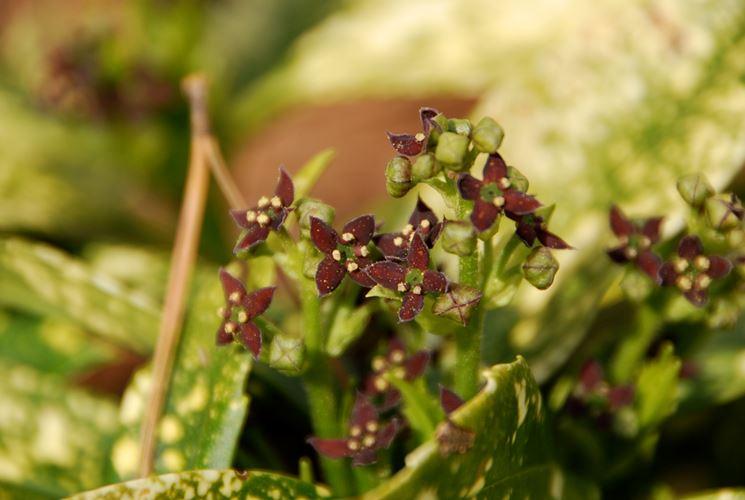 Esemplare di aucuba fiorita