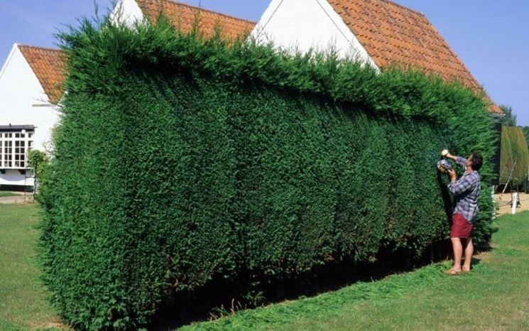 siepi da giardino - piante da giardino - recinto giardino - Siepe Da Giardino Piccolo