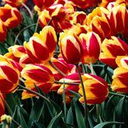 Piante e fiori di Tulipani