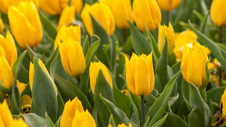 Fiori gialli di Tulipani