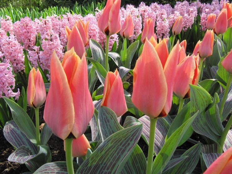 Infiorescenze rosa di Tulipani