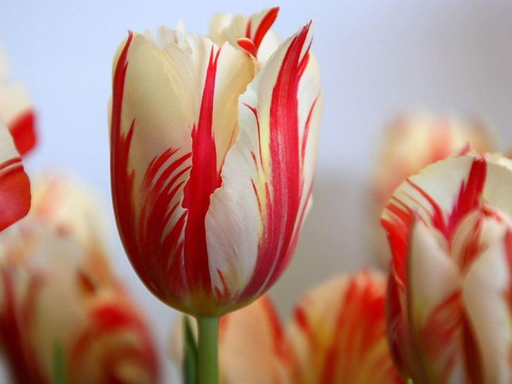 Fiori di Tulipani screziati