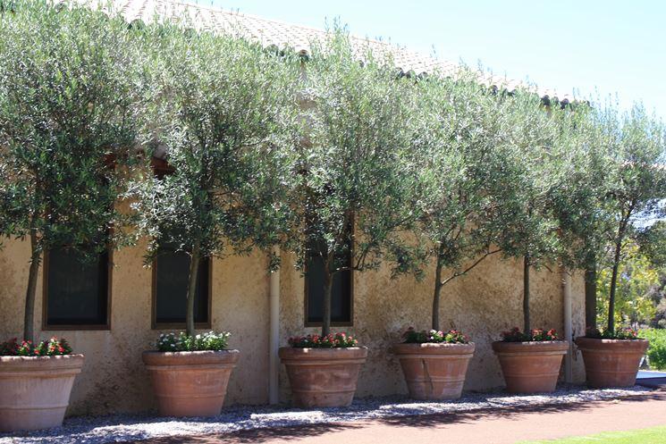 Vaso pianta ulivo