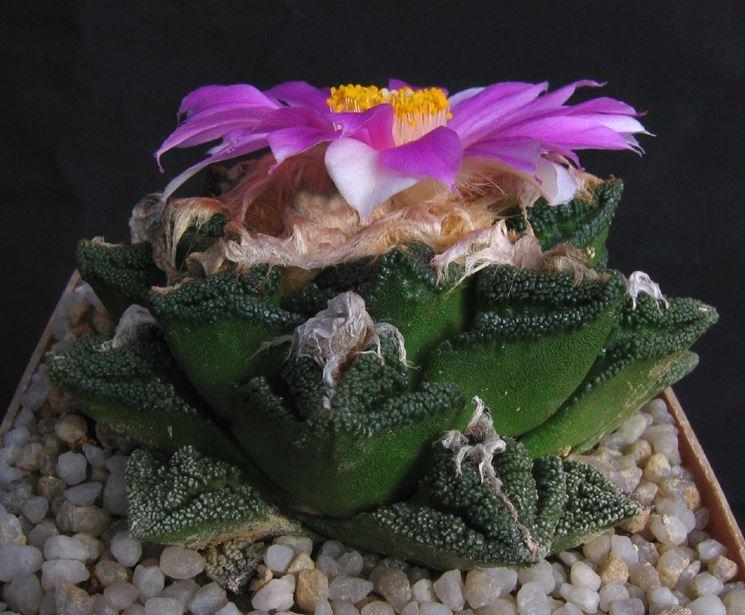 L'Ariocarpus