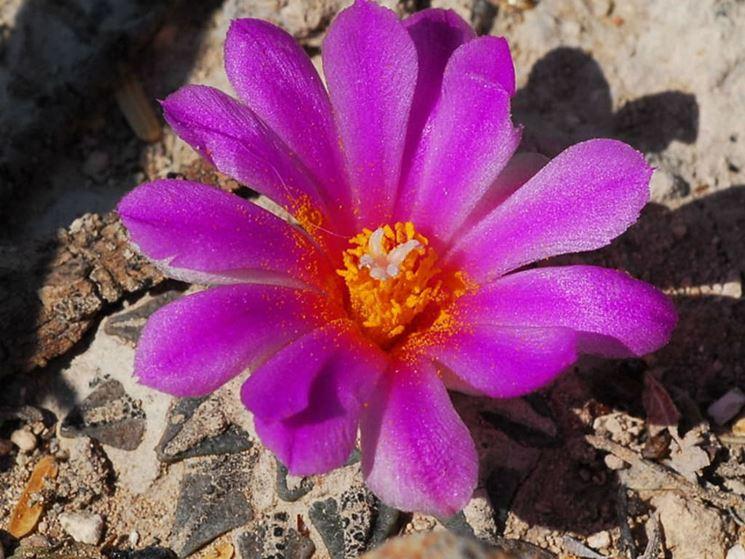 L'Ariocarpus in fiore