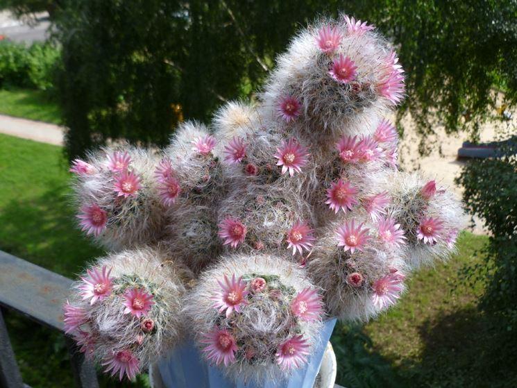 Cactus globoso del genere Mammillaria